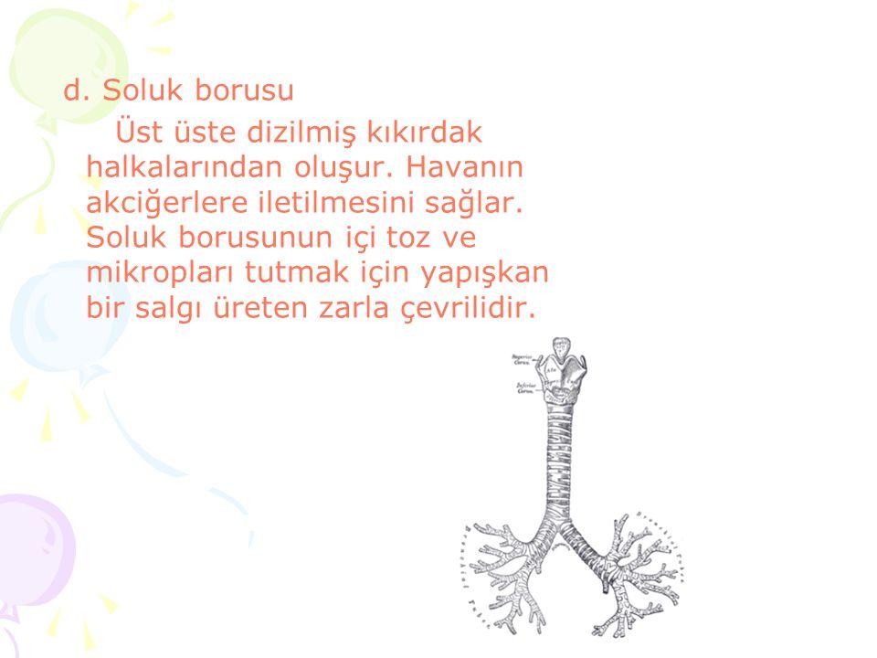 d. Soluk borusu Üst üste dizilmiş kıkırdak halkalarından oluşur. Havanın akciğerlere iletilmesini sağlar. Soluk borusunun içi toz ve mikropları tutmak