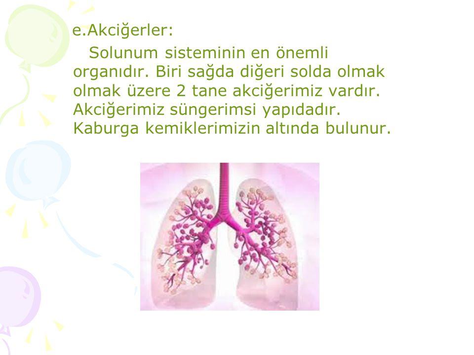 e.Akciğerler: Solunum sisteminin en önemli organıdır. Biri sağda diğeri solda olmak olmak üzere 2 tane akciğerimiz vardır. Akciğerimiz süngerimsi yapı