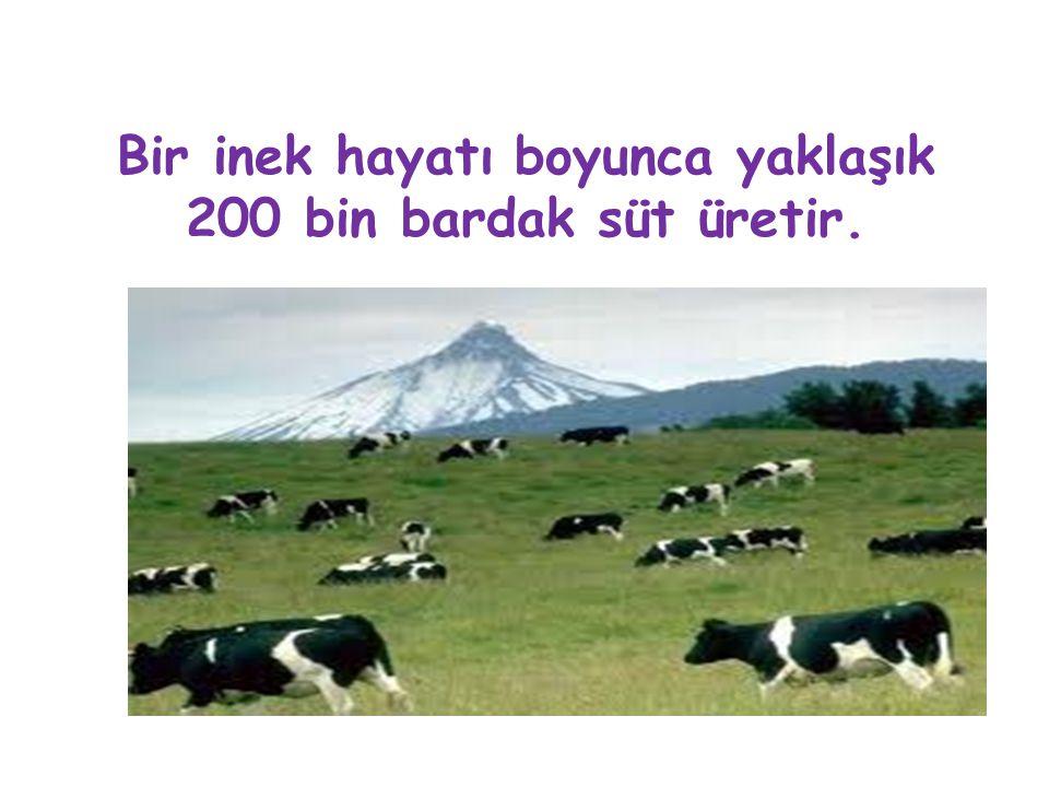 Bir inek hayatı boyunca yaklaşık 200 bin bardak süt üretir.