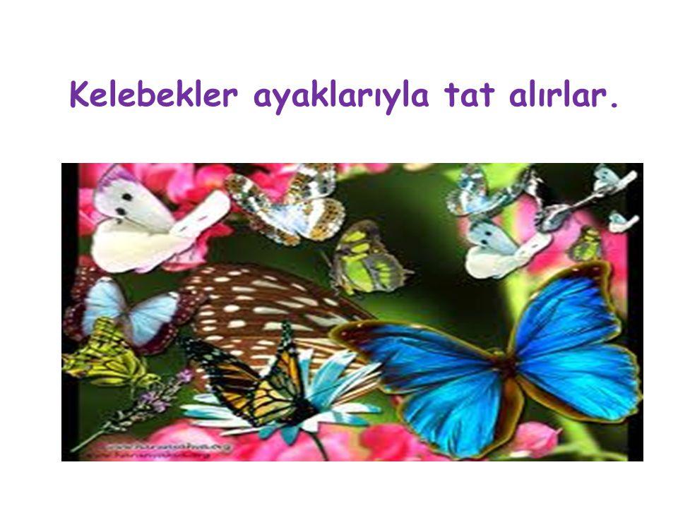 Kelebekler ayaklarıyla tat alırlar.
