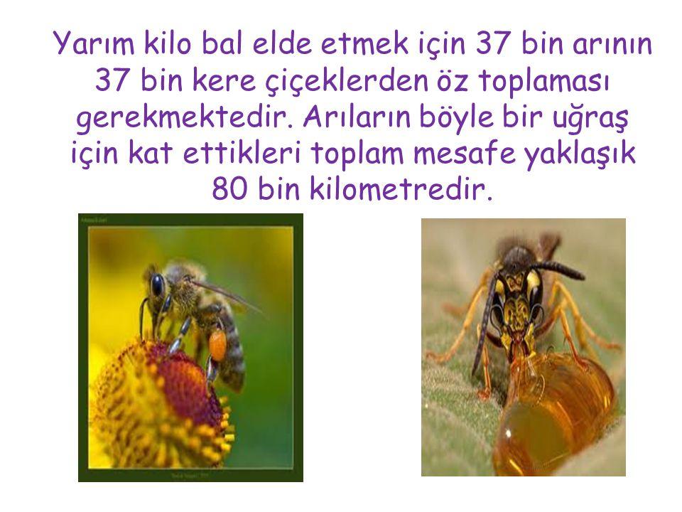 Yarım kilo bal elde etmek için 37 bin arının 37 bin kere çiçeklerden öz toplaması gerekmektedir. Arıların böyle bir uğraş için kat ettikleri toplam me