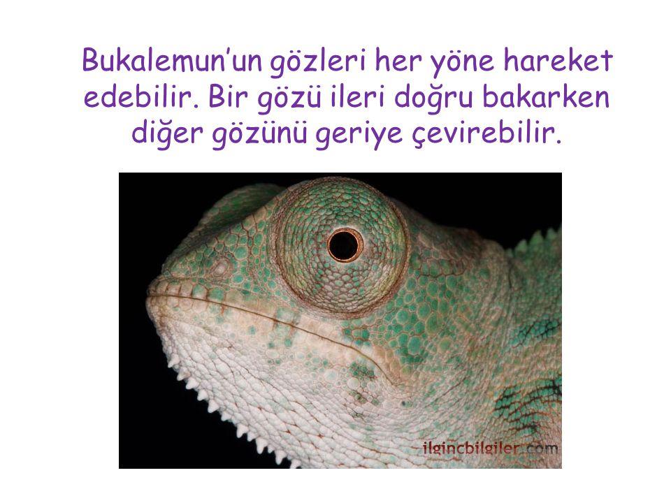 Bukalemun'un gözleri her yöne hareket edebilir. Bir gözü ileri doğru bakarken diğer gözünü geriye çevirebilir.