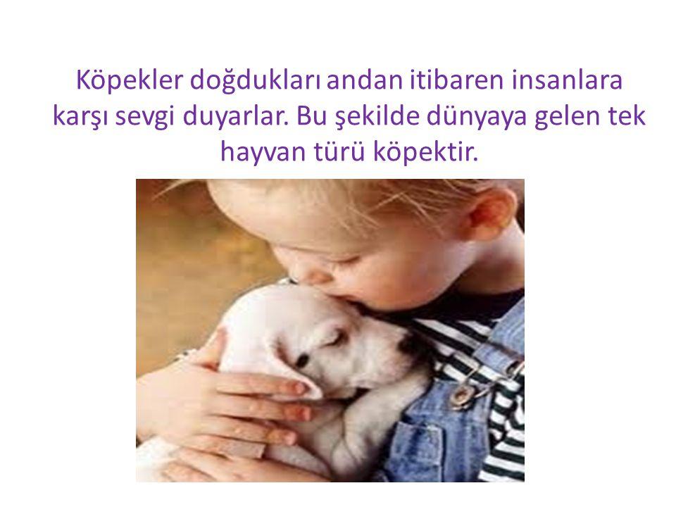 Köpekler doğdukları andan itibaren insanlara karşı sevgi duyarlar. Bu şekilde dünyaya gelen tek hayvan türü köpektir.
