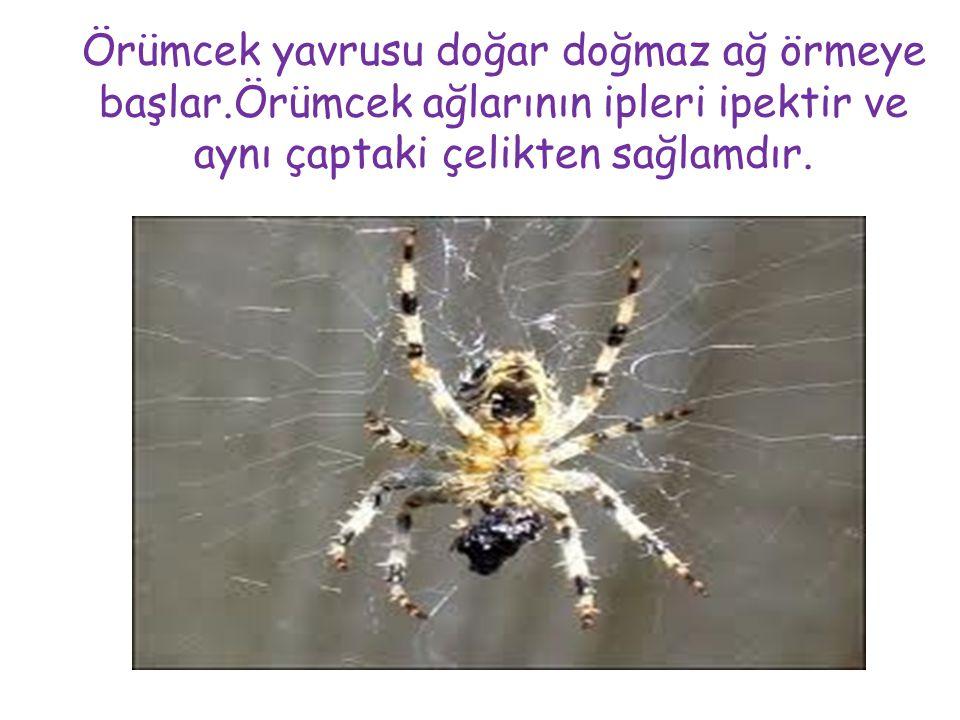 Örümcek yavrusu doğar doğmaz ağ örmeye başlar.Örümcek ağlarının ipleri ipektir ve aynı çaptaki çelikten sağlamdır.