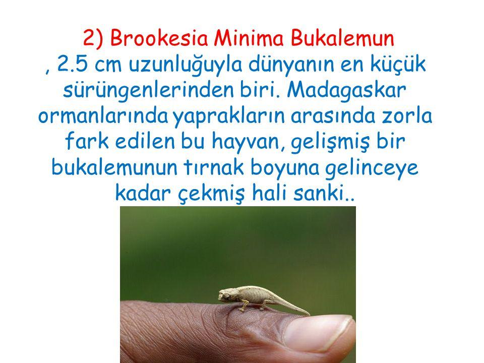 2) Brookesia Minima Bukalemun, 2.5 cm uzunluğuyla dünyanın en küçük sürüngenlerinden biri. Madagaskar ormanlarında yaprakların arasında zorla fark edi