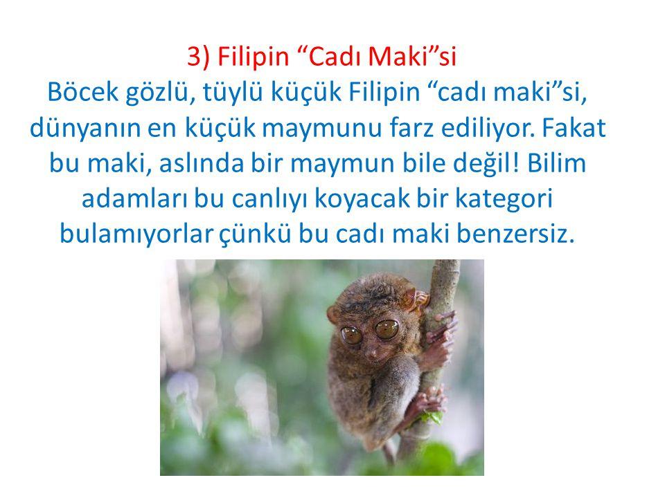 """3) Filipin """"Cadı Maki""""si Böcek gözlü, tüylü küçük Filipin """"cadı maki""""si, dünyanın en küçük maymunu farz ediliyor. Fakat bu maki, aslında bir maymun bi"""