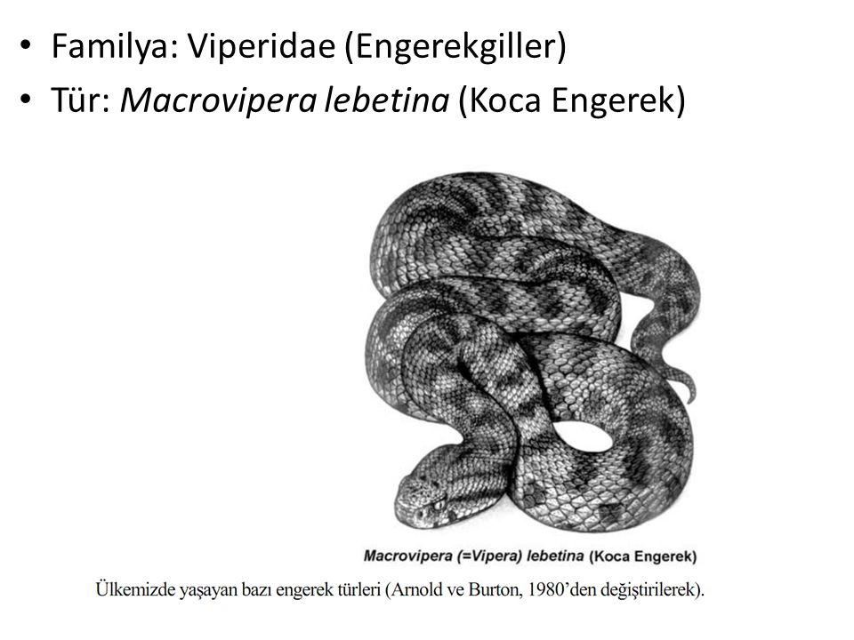 Familya: Viperidae (Engerekgiller) Tür: Macrovipera lebetina (Koca Engerek)