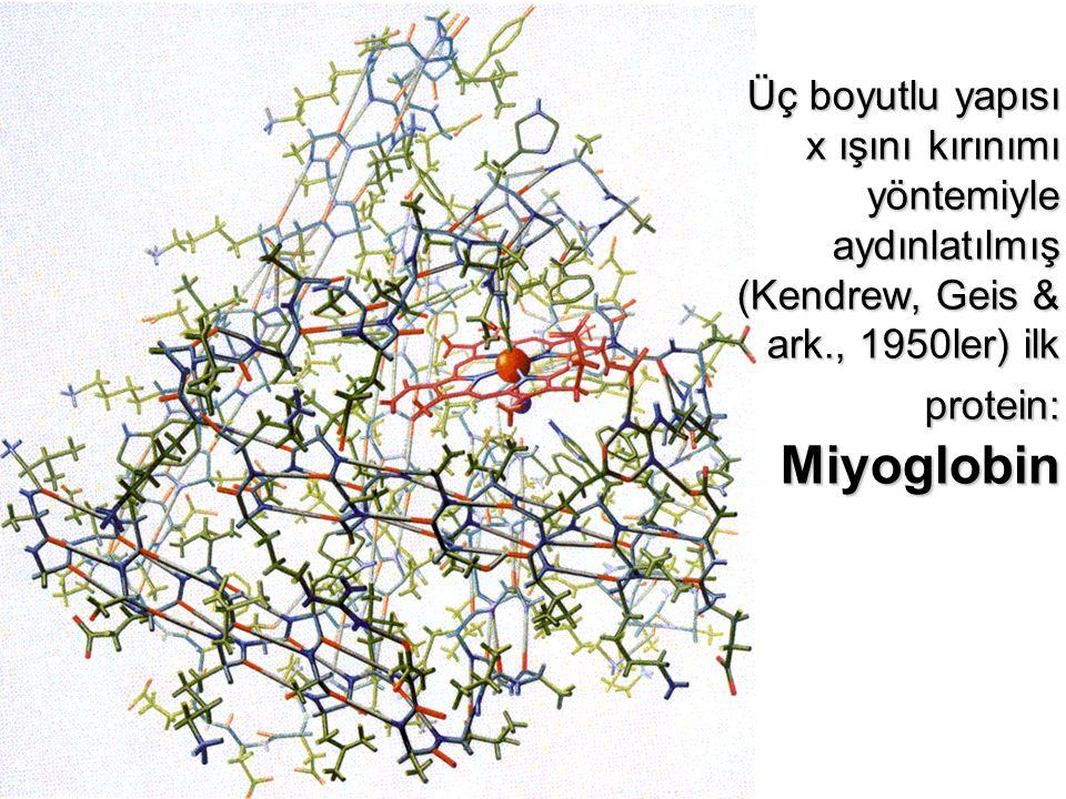 Üç boyutlu yapısı x ışını kırınımı yöntemiyle aydınlatılmış (Kendrew, Geis & ark., 1950ler) ilk protein: Miyoglobin