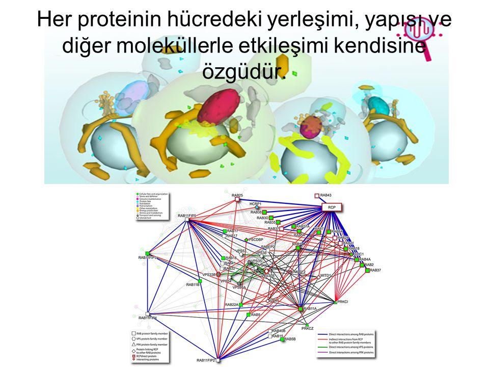 Her proteinin hücredeki yerleşimi, yapısı ve diğer moleküllerle etkileşimi kendisine özgüdür.