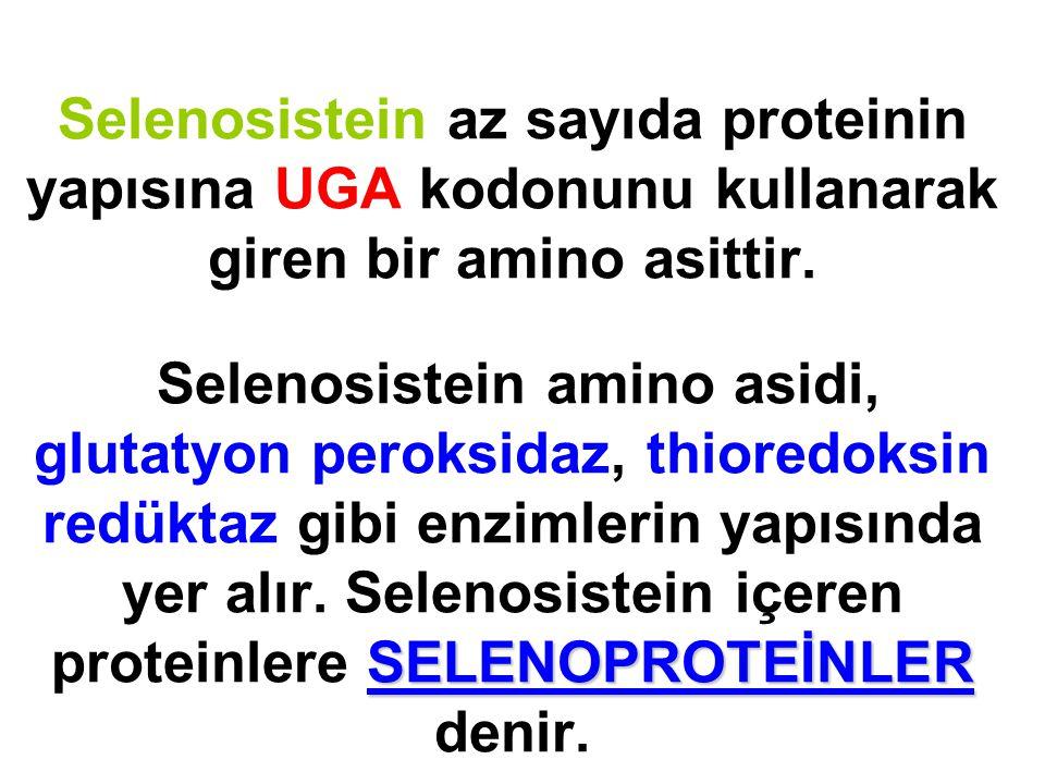 SELENOPROTEİNLER Selenosistein az sayıda proteinin yapısına UGA kodonunu kullanarak giren bir amino asittir. Selenosistein amino asidi, glutatyon pero