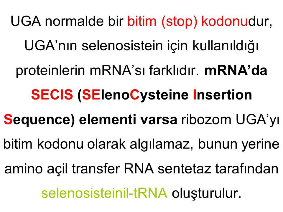 UGA normalde bir bitim (stop) kodonudur, UGA'nın selenosistein için kullanıldığı proteinlerin mRNA'sı farklıdır. mRNA'da SECIS (SElenoCysteine Inserti