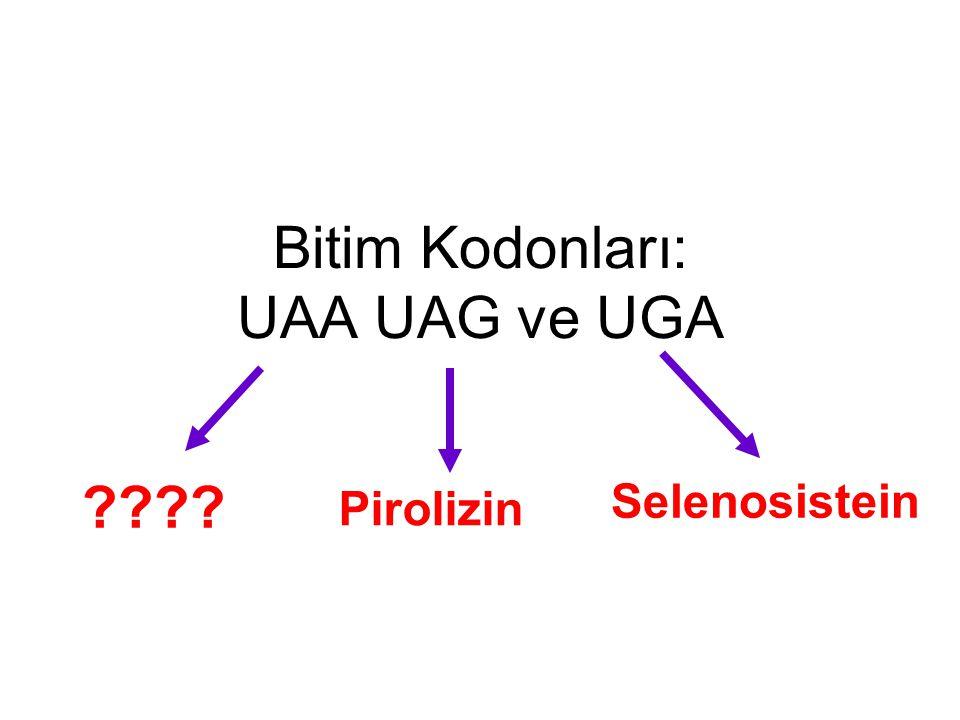 Bitim Kodonları: UAA UAG ve UGA ???? Selenosistein Pirolizin