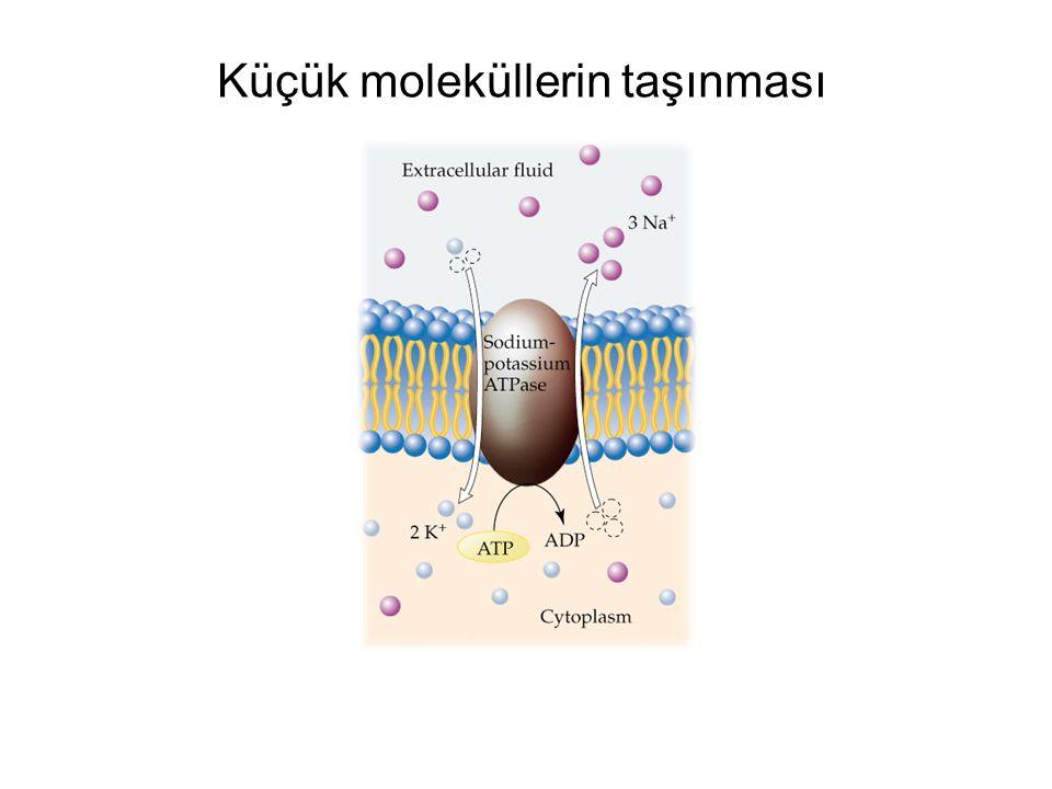  - Amino butirik asit (GABA): Merkezi sinir sisteminde inhibitör etkisi olan bir nörotransmitter (sinir uyarısı iletici)