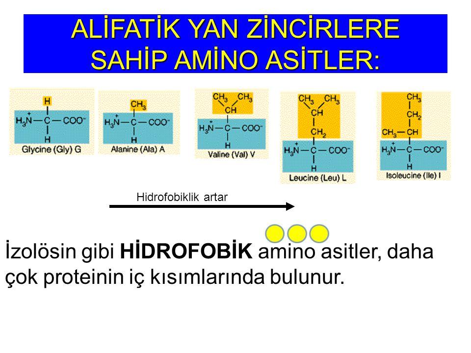 ALİFATİK YAN ZİNCİRLERE SAHİP AMİNO ASİTLER: Hidrofobiklik artar İzolösin gibi HİDROFOBİK amino asitler, daha çok proteinin iç kısımlarında bulunur.