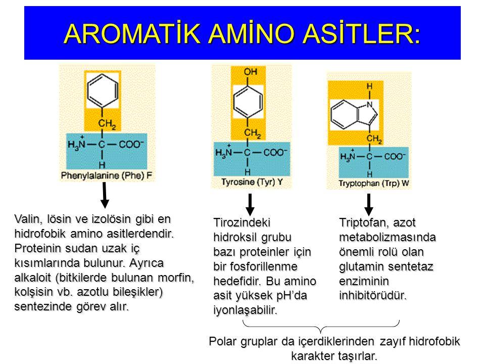 AROMATİK AMİNO ASİTLER: Valin, lösin ve izolösin gibi en hidrofobik amino asitlerdendir. Proteinin sudan uzak iç kısımlarında bulunur. Ayrıca alkaloit
