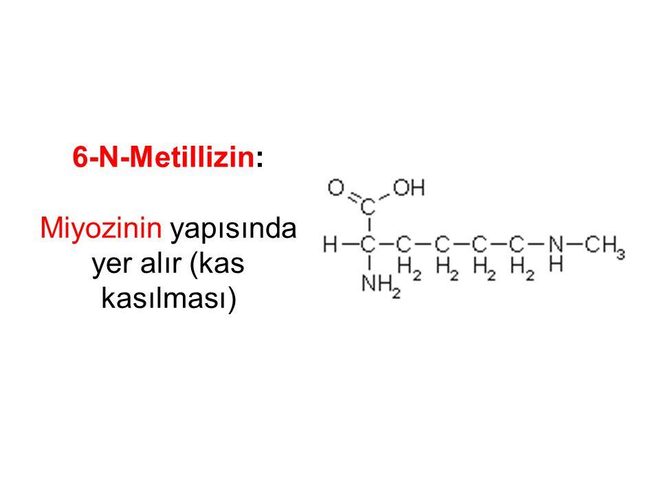 6-N-Metillizin: Miyozinin yapısında yer alır (kas kasılması)