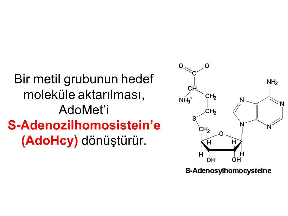 Bir metil grubunun hedef moleküle aktarılması, AdoMet'i S-Adenozilhomosistein'e (AdoHcy) dönüştürür.