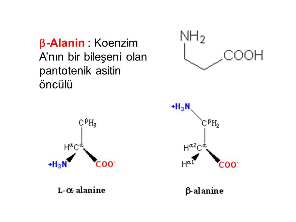  -Alanin : Koenzim A'nın bir bileşeni olan pantotenik asitin öncülü