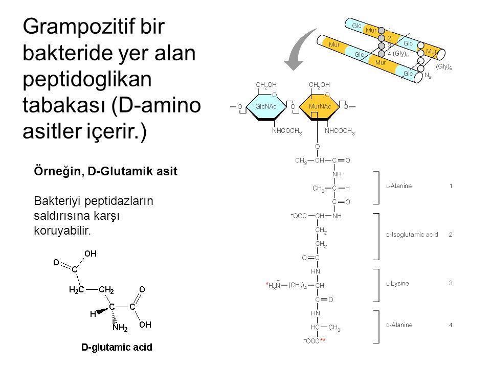 Grampozitif bir bakteride yer alan peptidoglikan tabakası (D-amino asitler içerir.) Örneğin, D-Glutamik asit Bakteriyi peptidazların saldırısına karşı