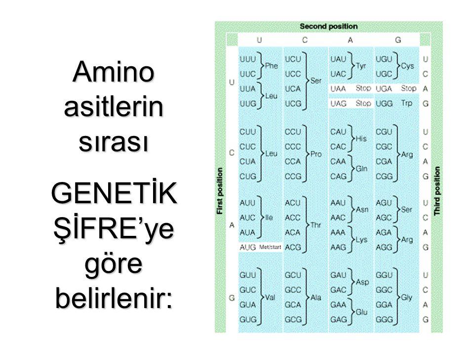 Amino asitlerin sırası GENETİK ŞİFRE'ye göre belirlenir: