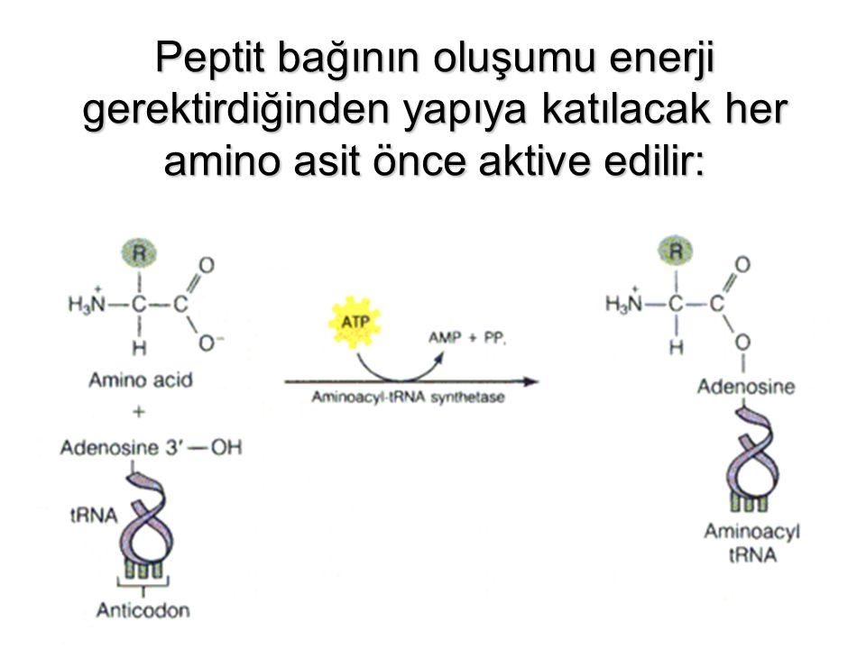 Peptit bağının oluşumu enerji gerektirdiğinden yapıya katılacak her amino asit önce aktive edilir: