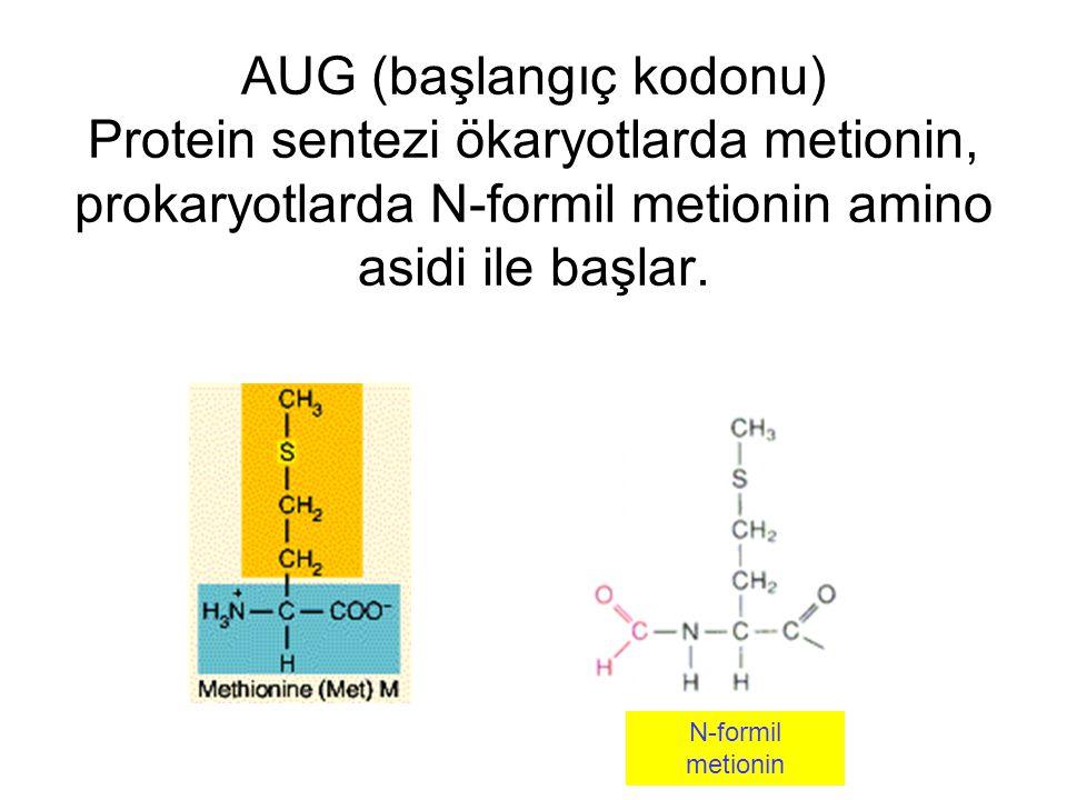 AUG (başlangıç kodonu) Protein sentezi ökaryotlarda metionin, prokaryotlarda N-formil metionin amino asidi ile başlar. N-formil metionin