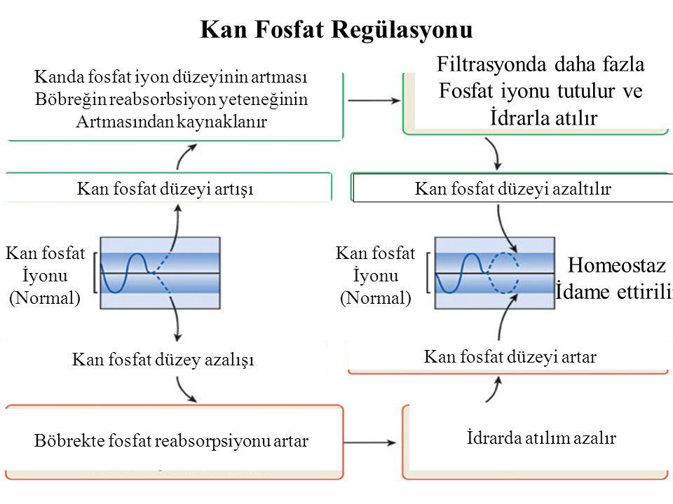 Kan Fosfat Regülasyonu Kan fosfat İyonu (Normal) Kan fosfat İyonu (Normal) Homeostaz İdame ettirilir Kan fosfat düzeyi artışı Kanda fosfat iyon düzeyi