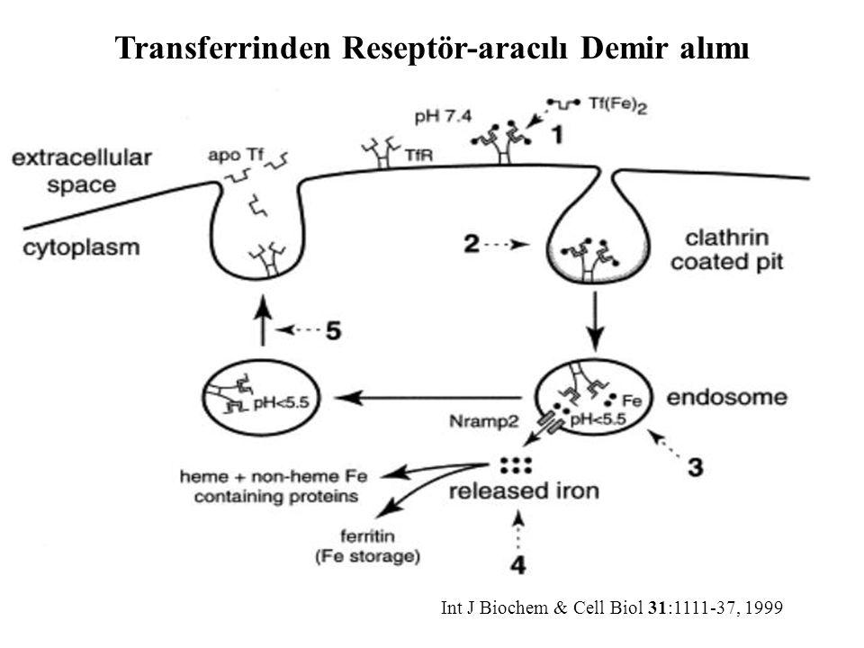 Int J Biochem & Cell Biol 31:1111-37, 1999 Transferrinden Reseptör-aracılı Demir alımı