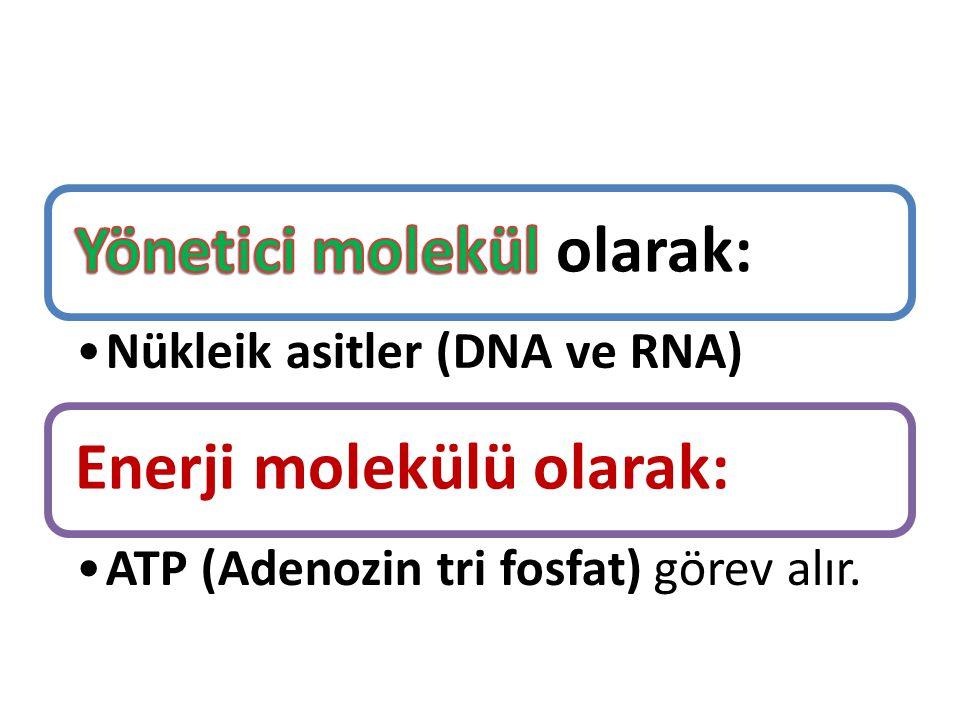 Nükleik asitler (DNA ve RNA) Enerji molekülü olarak: ATP (Adenozin tri fosfat) görev alır.