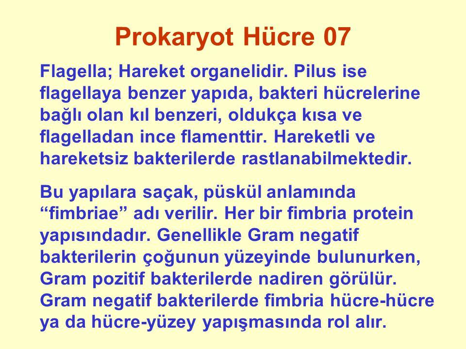 Prokaryot Hücre 07 Flagella; Hareket organelidir. Pilus ise flagellaya benzer yapıda, bakteri hücrelerine bağlı olan kıl benzeri, oldukça kısa ve flag