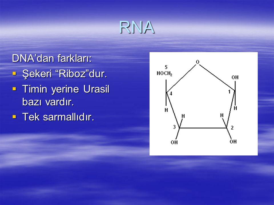 """RNA DNA'dan farkları:  Şekeri """"Riboz""""dur.  Timin yerine Urasil bazı vardır.  Tek sarmallıdır."""