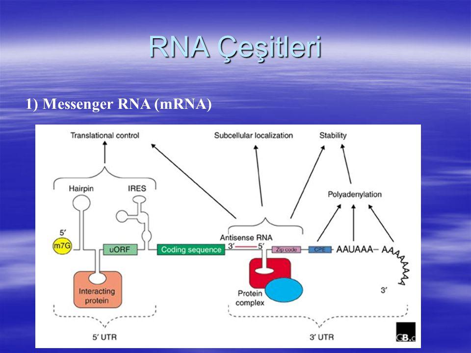 RNA Çeşitleri 1) Messenger RNA (mRNA)
