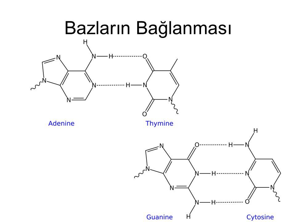 Nükleotidlerin Birleşmesi