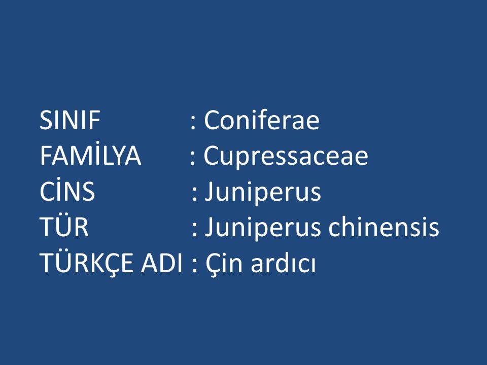 SINIF : Coniferae FAMİLYA : Cupressaceae CİNS : Juniperus TÜR : Juniperus chinensis TÜRKÇE ADI : Çin ardıcı