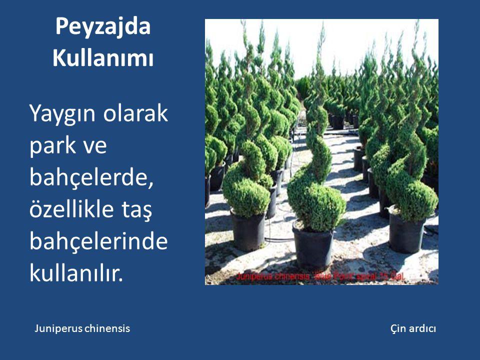 Peyzajda Kullanımı Yaygın olarak park ve bahçelerde, özellikle taş bahçelerinde kullanılır. Juniperus chinensis Çin ardıcı
