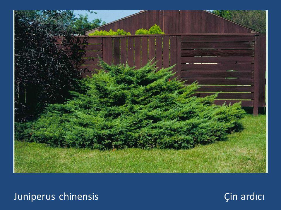 Her zaman yeşil, pul yapraklı, yerde sürünücü bodur çalı ya da 15-20 m boyunda bir ağaç biçimlerinde olabilir.