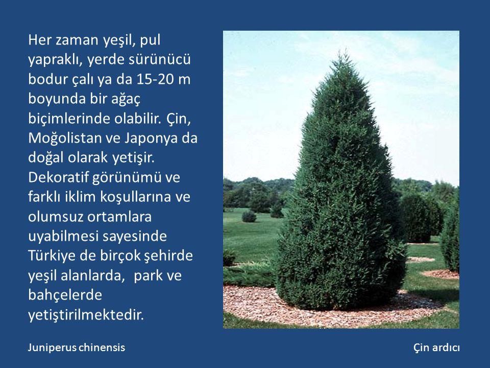 Her zaman yeşil, pul yapraklı, yerde sürünücü bodur çalı ya da 15-20 m boyunda bir ağaç biçimlerinde olabilir. Çin, Moğolistan ve Japonya da doğal ola