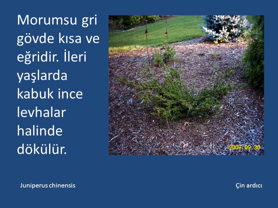 Morumsu gri gövde kısa ve eğridir. İleri yaşlarda kabuk ince levhalar halinde dökülür. Juniperus chinensis Çin ardıcı