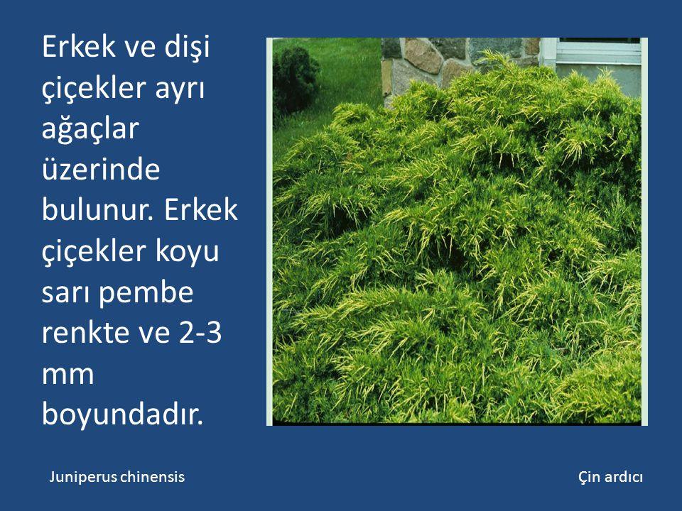 Erkek ve dişi çiçekler ayrı ağaçlar üzerinde bulunur. Erkek çiçekler koyu sarı pembe renkte ve 2-3 mm boyundadır. Juniperus chinensis Çin ardıcı