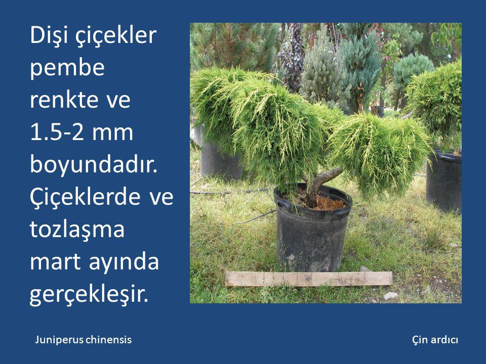 Dişi çiçekler pembe renkte ve 1.5-2 mm boyundadır. Çiçeklerde ve tozlaşma mart ayında gerçekleşir. Juniperus chinensis Çin ardıcı