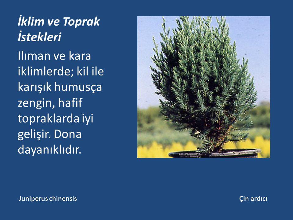 İklim ve Toprak İstekleri Ilıman ve kara iklimlerde; kil ile karışık humusça zengin, hafif topraklarda iyi gelişir. Dona dayanıklıdır. Juniperus chine
