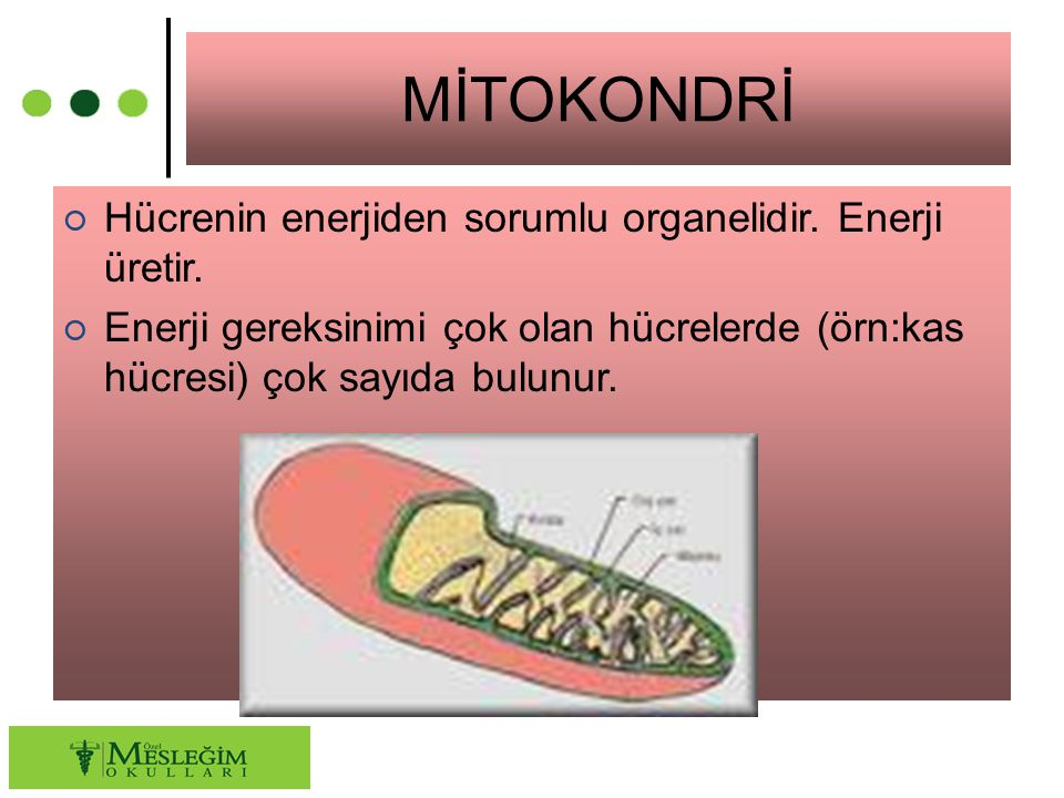 MİTOKONDRİ ○ Hücrenin enerjiden sorumlu organelidir. Enerji üretir. ○ Enerji gereksinimi çok olan hücrelerde (örn:kas hücresi) çok sayıda bulunur.