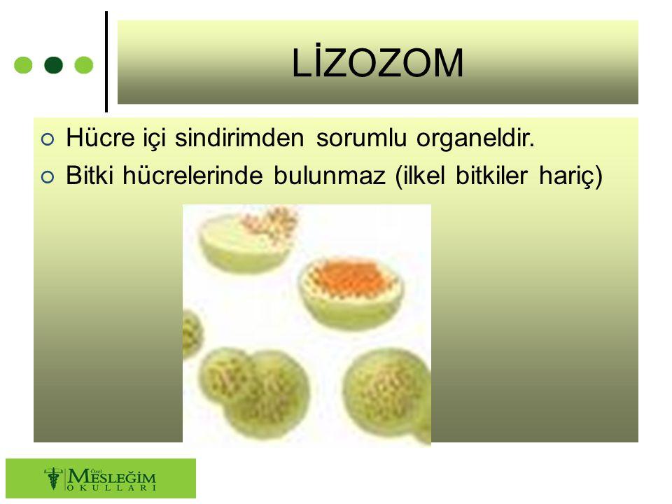 LİZOZOM ○ Hücre içi sindirimden sorumlu organeldir. ○ Bitki hücrelerinde bulunmaz (ilkel bitkiler hariç)