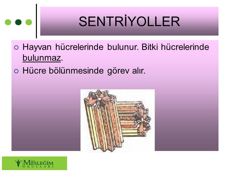 SENTRİYOLLER ○ Hayvan hücrelerinde bulunur. Bitki hücrelerinde bulunmaz. ○ Hücre bölünmesinde görev alır.