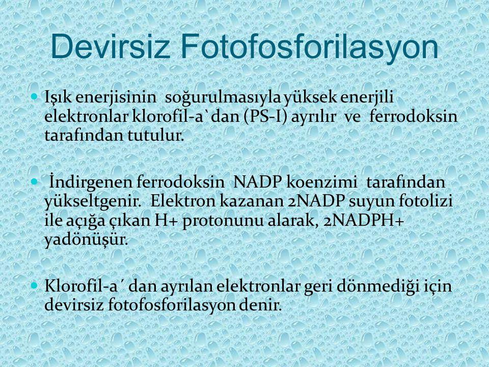 Devirsiz Fotofosforilasyon Işık enerjisinin soğurulmasıyla yüksek enerjili elektronlar klorofil-a`dan (PS-I) ayrılır ve ferrodoksin tarafından tutulur