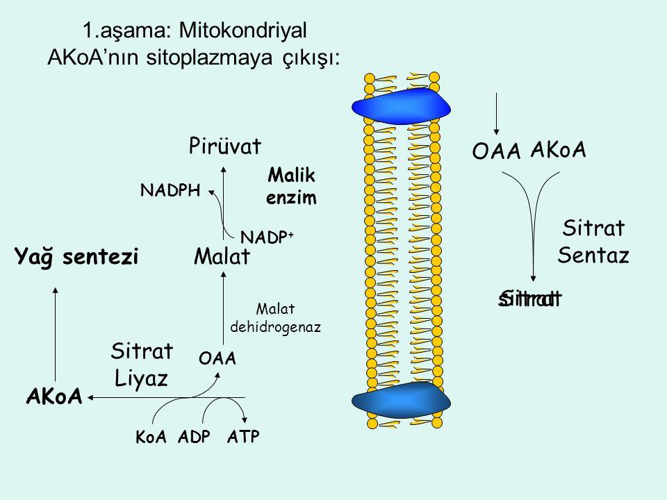 sitrat 1.aşama: Mitokondriyal AKoA'nın sitoplazmaya çıkışı: OAA AKoA Sitrat Sentaz Sitrat ATPADPKoA OAA AKoA Sitrat Liyaz Malat dehidrogenaz Malat Mal