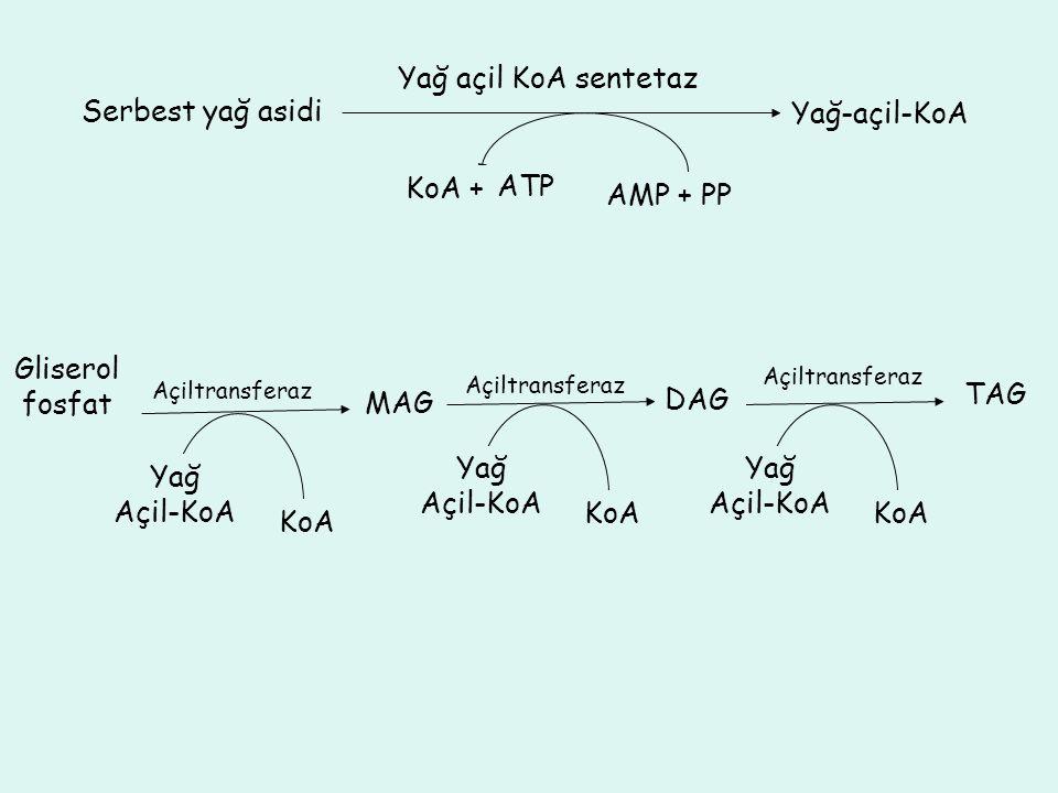 Yağ açil KoA sentetaz Serbest yağ asidi Yağ-açil-KoA AMP + PP KoA + ATP Açiltransferaz MAG Yağ Açil-KoA KoA Açiltransferaz Yağ Açil-KoA KoA Gliserol f