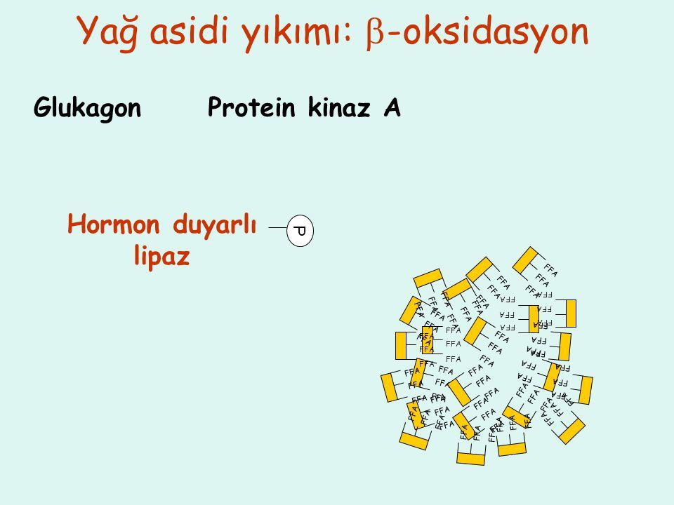 Yağ asidi yıkımı:  -oksidasyon FFA GlukagonProtein kinaz A Hormon duyarlı lipaz P