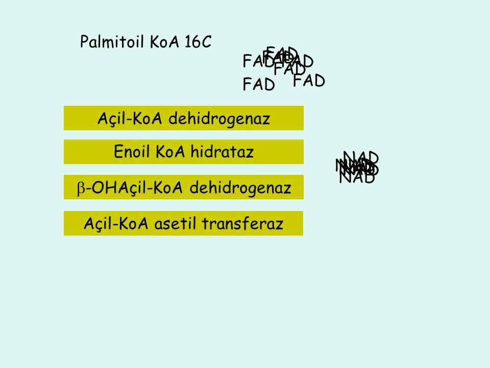 4C Palmitoil KoA 16C NADH+H NAD FADH 2 FAD NADH+H NAD FADH 2 FAD 12C ASETİL KoA 14 C ASETİL KoA Enoil KoA hidrataz 10C8C6CAsetil KoA ASETİL KoA FAD FA