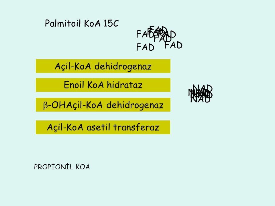 3C Palmitoil KoA 15C NADH+H NAD FADH 2 FAD NADH+H NAD FADH 2 FAD 11C ASETİL KoA 13 C ASETİL KoA Enoil KoA hidrataz 9C7C5C Asetil KoA ASETİL KoA FAD FA